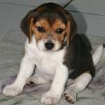Genova, vende on line cuccioli di Beagle non registrati, denunciato