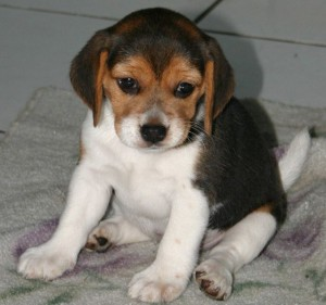 cucciolo di Beagle sequestrato
