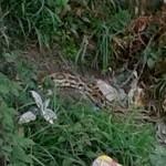 Pitone nel Bisagno, avvistato e catturato in zona Borgo Incrociati