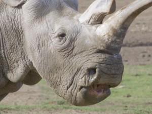 Morto uno degli ultimi rinoceronti bianchi