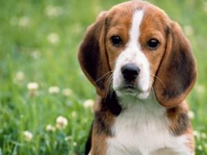 Tentano di rapire un cane dal giardino di un'abitazione, denunciate