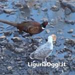 Molassana – Fagiani nel torrente Bisagno