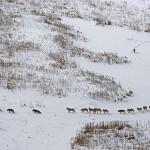 Lupi che camminano al ritmo del più debole e malato – E' una Bufala