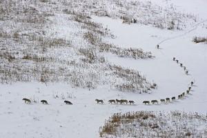 Bufala del branco di lupi