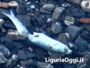 Voltri, moria di pesci sulla spiaggia: ipotesi inquinamento o siccità