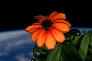 I primi fiori nati nello spazio