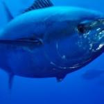 Strasburgo, Parlamento Europeo approva redistribuzione delle quote per pesca al tonno rosso