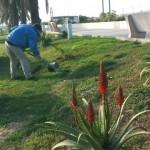Imperia, 30 esemplari di palma piantati in mattinata a Spianata e al molo di Oneglia