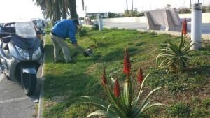 Nella foto, un giardiniere al lavoro questa mattina a Imperia