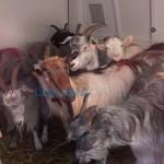 Trasportano 12 capre in un furgone, denunciati sulla A26