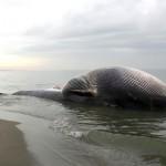Italia, trivelle e alluvioni causano gli spiaggiamenti dei cetacei