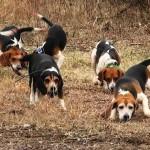 Allevava cani di razza beagle abusivamente, denunciato medico di Genova