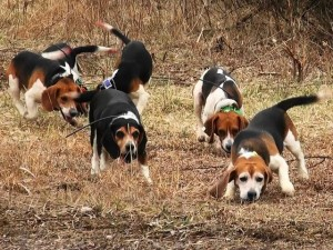 cani-beagles