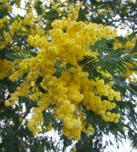 Nella foto, i fiori gialli della mimosa
