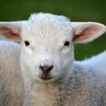 Animalisti Genovesi: no all' agnello a Pasqua