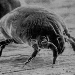 Arriva il primo vaccino contro l'allergia agli acari