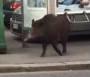 Cinghiali per strada a Genova