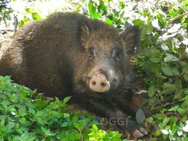 Molassana - Ancora cinghiali avvelenati nel greto del Bisagno