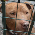 Combattimenti tra cani, Polizia diffonde video dell'irruzione – VIDEO