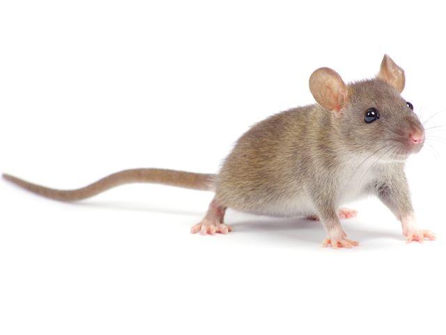 Escrementi di topo nell'asilo, chiusa la materna di Badalucco
