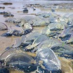 Invasione di meduse in Liguria – Enpa: colpa della pesca eccessiva