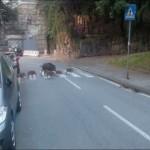 Famiglia di cinghiali attraversa la strada davanti all'Albergo dei Poveri