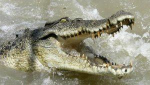 Australia - Si tuffa per scommessa in un fiume e viene attaccato da un coccodrillo