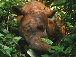 Indonesia, nato nuovo esemplare di rinoceronte di Sumatra