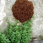 Certosa – Sciame d'api in via Mansueto, arriva l'apicoltore e le cattura