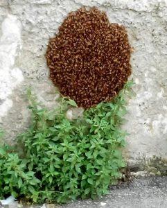 Sciame di api a Certosa