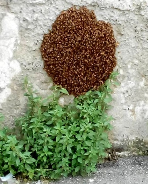 Genova - Sciame d'api in via Casaregis
