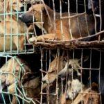Cina – Al via anche quest'anno il Festival della carne di cane