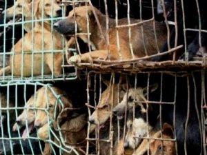 Cani pronti per essere mangiati in Cina