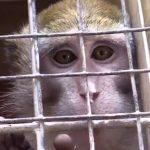 Vivisezione – Salvati macachi destinati agli esperimenti dell'Università di Modena