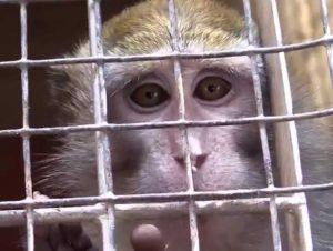 macaco-scimmie-vivisezione