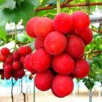 Giappone, grappolo d'uva venduto a 10mila euro