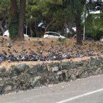 Albaro invasa dai piccioni, residenti preoccupati