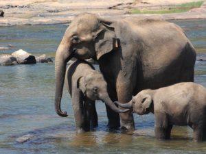 Elefanti travolti ed uccisi da treno in Sri Lanka