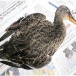 Albisola, continua la morìa di pesci e volatili alla foce del Sansobbia