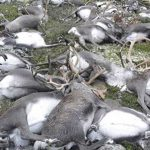 Temporale in Norvegia, 300 renne uccise da un fulmine