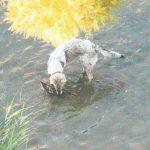 Borghetto Santo Spirito, cani senza guinzaglio nel Varatella fanno strage di germani reali
