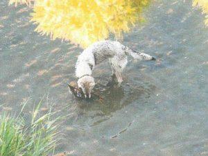 Nella foto, un cane azzanna un germano reale