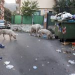 Certosa – Maiali liberi rovistano tra i rifiuti in via Mansueto
