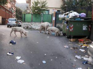 maiali per strada in via Mansueto a Certosa