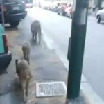 Oregina – Cinghiali a spasso in via Paolo della Cella