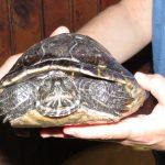 Savona, tartaruga d'acqua dolce soccorsa dall'ENPA sulle spiagge di Bergeggi