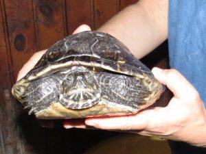 Savona, tartaruga d'acqua dolce soccorsa dall'ENPA
