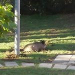 Marassi – Cinghiali nei giardini per bambini del Mirto