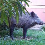 Marassi – Cinghiale intrappolato nei giardini del Mirto, è caccia grossa