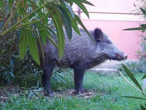 Cinghiali - Coppia bloccata in casa a Sori con un grosso esemplare nel giardino